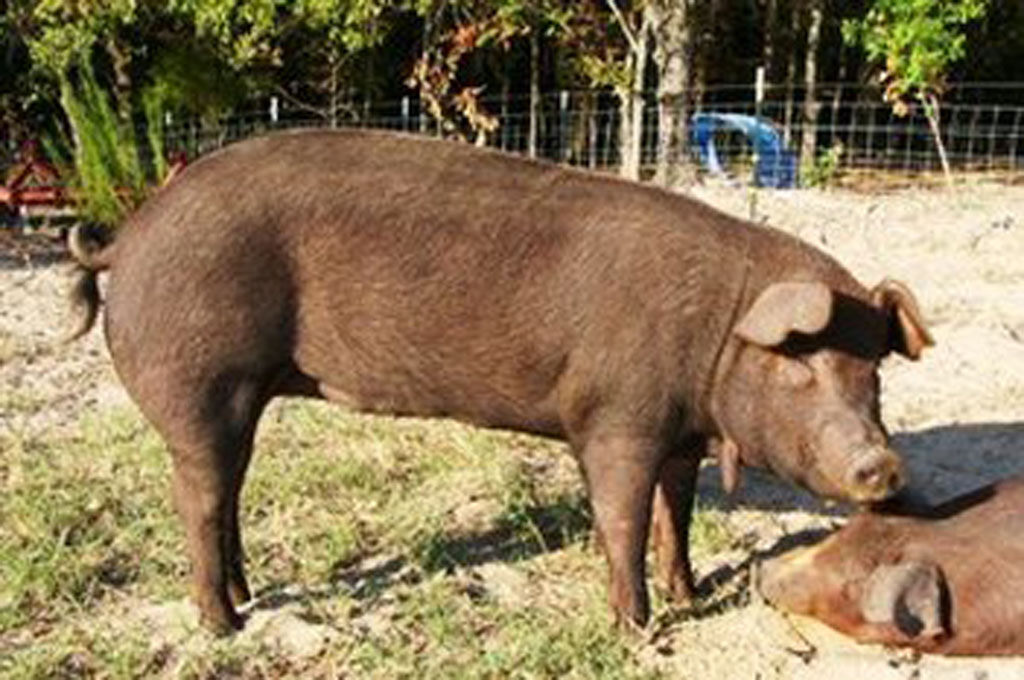 Show Pigs in Texas an East Texas Native Pig